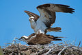 Osprey mating a pair of s in nestbox Royalty Free Stock Photography