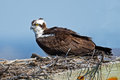 Osprey in Nest Box Royalty Free Stock Photo