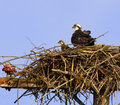 Osprey Pair adult and offspring in Nest Stock Photos