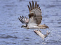 Osprey Pandion haliaetus Royalty Free Stock Photo