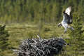 Osprey pandion haliaetus male flying in to nest Royalty Free Stock Images