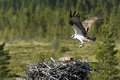 Osprey pandion haliaetus male flying in to nest Stock Photography