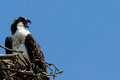 Osprey pandion haliaetus sea hawk fish eagle river hawk fish hawk diurnal fish eating bird of prey raptor Royalty Free Stock Photography