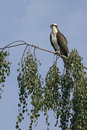 Osprey pandion haliaetus single bird on branch finland Stock Photography