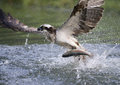 Osprey pandion haliaetus single bird diving for fish finland Stock Photography