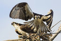 Osprey pandion haliaetus taking off from its nest fort desoto florida Royalty Free Stock Photography