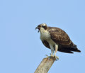 Osprey an perched against a deep blue sky Stock Images
