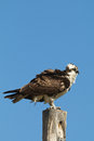 Osprey perched on pole an atop a against a blue sky Royalty Free Stock Photography