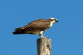 Osprey on pole an atop a against a blue sky Stock Photo