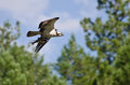 Osprey portant en vol un poisson Images stock