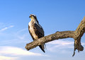 Osprey reverence perched on a tree near sunset over the chesapeake bay in maryland Stock Photos