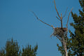 Osprey's nest. Royalty Free Stock Photography