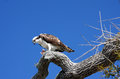 Osprey a ses stands guard on a tree Royalty Free Stock Image