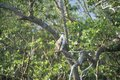 An osprey sits in a tree at everglades national park islands fl Stock Image