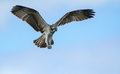 Osprey soaring in the sky Royalty Free Stock Photo