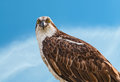 Osprey staring front view of Stock Images