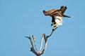 Osprey Take Off Royalty Free Stock Photos