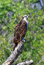 Osprey on a tree limb the is sometimes known as the sea hawk fish eagle river hawk or fish hawk it is diurnal fish eating bird of Royalty Free Stock Images