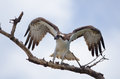 Osprey wings up on tree branch just after landing Royalty Free Stock Photo