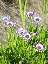 Osteospermum in the garden Royalty Free Stock Photo