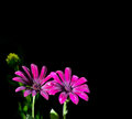 Osteospermum purple isolated image on dark background Stock Photo