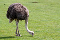 Ostich a large ostrich in a field on a sunny day Stock Photography