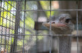 Ostrich In Animal Cage