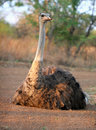 Ostrich basking in the sun Royalty Free Stock Photos