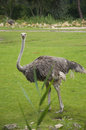 Ostrich a beautifully distinct female Stock Image