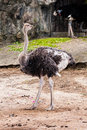 Ostrich bird standing in zoo Stock Image