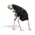 Ostrich burying head in sand ignoring problems Royalty Free Stock Photo