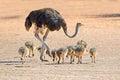 Ostrich with chicks female struthio camelus kalahari desert south africa Stock Photo