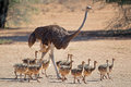 Ostrich with chicks Royalty Free Stock Photo