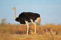 Ostrich with chicks male struthio camelus kalahari desert south africa Royalty Free Stock Images