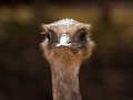 Ostrich classic portrait close up shot of head looking forward reat for visitor centres or the concept of denial or burying your Stock Photos