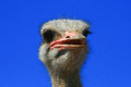 Ostrich close up isolated image of an struthio camelus head showing red beak and long eyelashes Royalty Free Stock Images