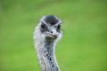 Ostrich closeup a of an face Stock Image