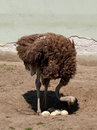 Ostrich Counts The Eggs Royalty Free Stock Image