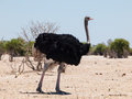 Ostrich in dry savanna struthio camelus Stock Photography