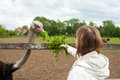 Ostrich eating grass tall is green from woman s hand beautiful view of nature on the farm Stock Photo