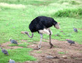 Ostrich emu close up in a sunny day Royalty Free Stock Image