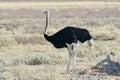 Ostrich etosha namibia on the plains national park Stock Image