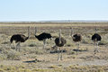 Ostrich etosha namibia on the plains national park Royalty Free Stock Photography