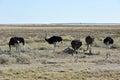Ostrich etosha namibia on the plains national park Stock Photos