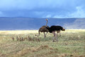 Ostrich family in ngorongoro crater tanzania Stock Photos