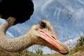 Ostrich On A Farm