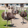 Ostrich in farm young african black ostriches Royalty Free Stock Image