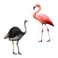 Ostrich, Flamingo