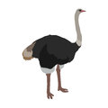 Ostrich Flat Design Vector Illustration Royalty Free Stock Photo