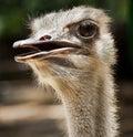 Ostrich flightless bird Royalty Free Stock Photography